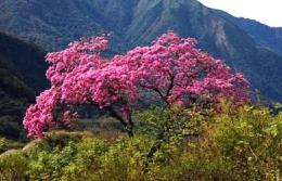 Лечебные свойства коры муравьиного дерева